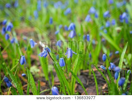Meadow With Blue Flowers Scilla Siberica
