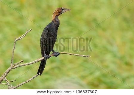 Pygmy Cormorant (Phalacrocorax pygmeus) sitting on a branch