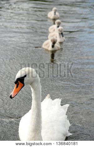 Family of white swans on a pond