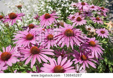 Echinacea Purpurea - Perennial Herb
