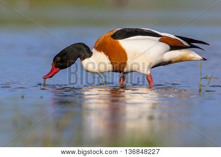Male Common Shelduck Feeding