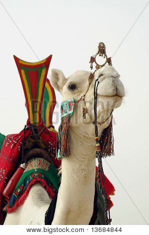 A close up of a white Tuareg nomad camel with saddle poster