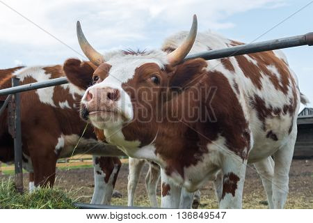 Cow minx posing and flirting. Look cow in paddock on the farm. A pastoral picture on the cattle country. Animals on pasture to the ranch.