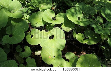 many big green leaves of butterbur in the shady forest in summer