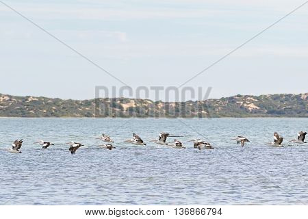 A group of Large Australian Pelican water birds flying in line at Coorong national park in South Australia