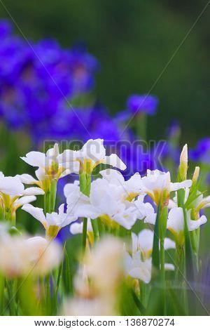 Varietal Garden Irises In Bloom