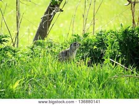 Wild animals present greater group of the steepe inhabitants Altaya