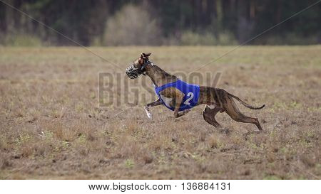 Coursing passion and speed. Whippet dog running in the field. sunny day poster