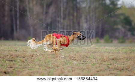 Coursing passion and speed. Yuzhnorusskaya borzaya dogs running track in a muzzle on the field. sunny day poster