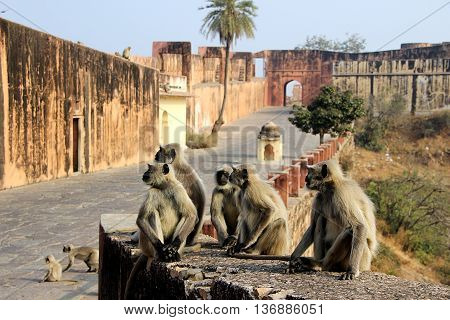 Activities of monkeys greet the tourists at Jaigarh Palace Jaipur Rajasthan India Asia