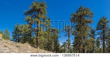 Pine Tree On Hillside