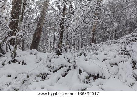 Snow In Australian Eucalyptus Forest.