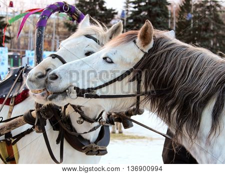 Two white horses harnessed to a city holiday
