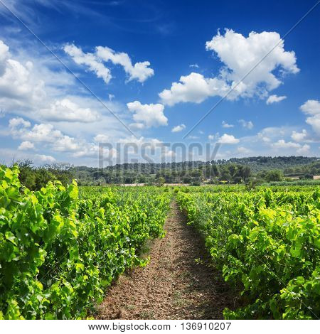 Vineyard green fresh rows under blue sky with couds, France