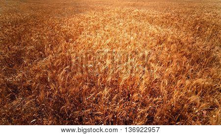 Golden wheat field. Meadow wheat field close up. Rich harvest Concept. Rye