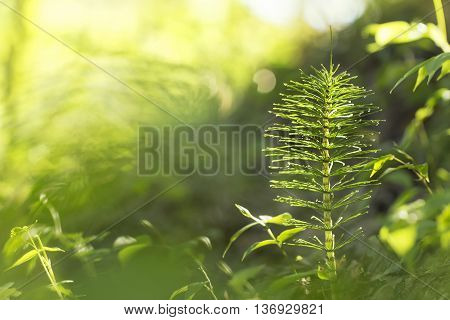 Horsetail in dew in the morning beautiful spring green background with natural bokeh