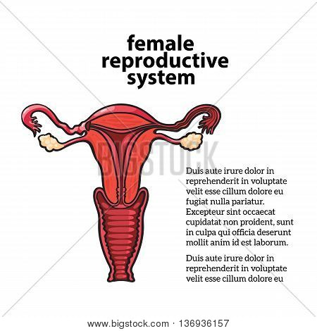 female reproductive system, sketch hand-drawn illustration isolated on white background, vnutrinney uterine structure and vagina to the ovaries, the anatomy of a woman s vagina