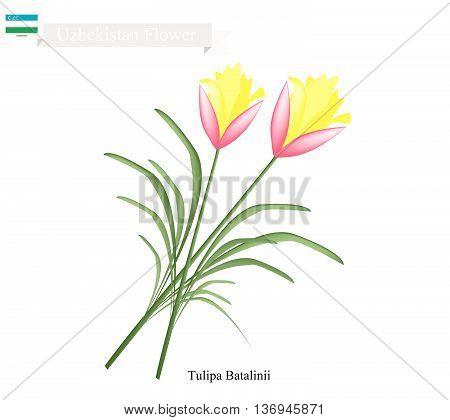 Uzbekistan Flower Illustration of Tulipa Batalinii Flowers or Bright Gem Flowers. One of The Most Popular Flower of Uzbekistan.