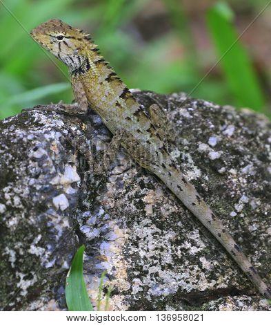 juvenile Oriental Garden Lizard on rock near Songkhla, Thailand