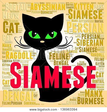 Siamese Cat Represents Domestic Kitten And Breed