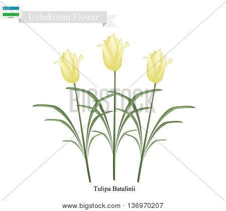 Uzbekistan Flower Illustration of Tulipa Batalinii Flowers or Bright Gem Flower. One of The Most Popular Flower of Uzbekistan.