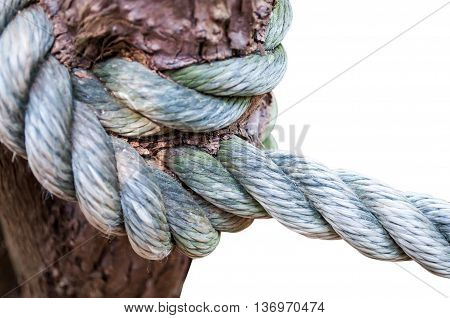 Knot rope in tree isolated on white background