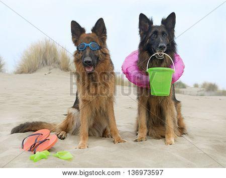 two german shepherds sitting on the beach