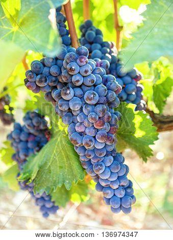 Single bunch of dark blue grapes on vineyard background. Ripe juicy vine closeup.