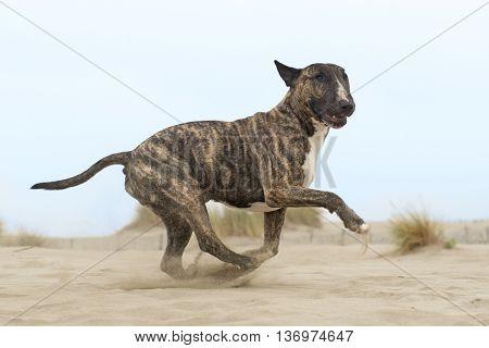 running brown bull terrier on the beach