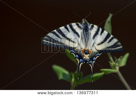 Swallow Tail Butterfly Machaon Close Up Portrait