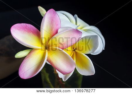 Flowers Plumeria Or Frangipani On Dark Background