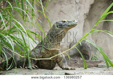 Portrait of the Komodo dragon Varanus komodoensis is the biggest living lizard in the world. On island Rinca. Indonesia.