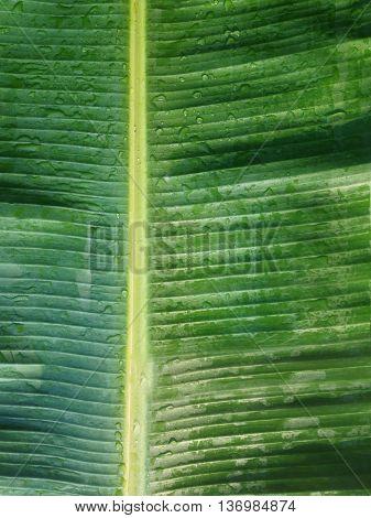 Fresh Green Banana Leaf Texture Background