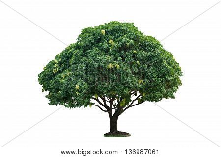 Isolated Single Mango Tree On White With Clipping Path