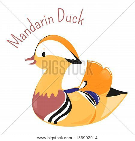 Mandarin duck isolated on white. Aix galericulata. Funny cartoon bird character. Perching duck species. Ornithology. Fauna. Part of series of various animal species. Wildlife concept. Vector