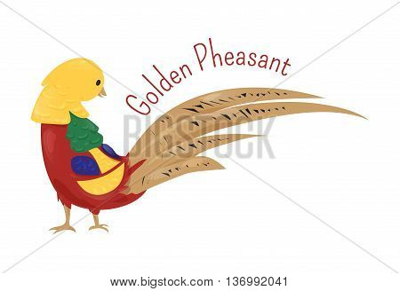 Cartoon golden or Chinese pheasant isolated on white. Chrysolophus pictus. Gallinaceous birds. Fauna. Ornithology. Part of series of various australian animal species. Wildlife concept. Vector
