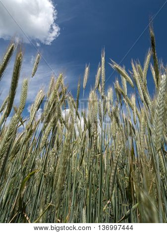 cornfield rye in the summer before harvest