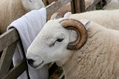 face and upper body of a horned ram. poster