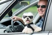 Small dog maltese in a car with open window and his owner in a background. Dog wears a special dog car harness to keep him safe when he travels. poster
