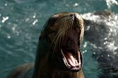 Sea Lion begging for food with mouth open poster