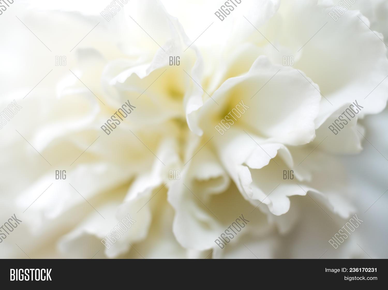 Soft White Carnation Image Photo Free Trial Bigstock
