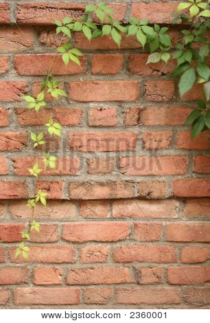 Ivy On Brick Wall