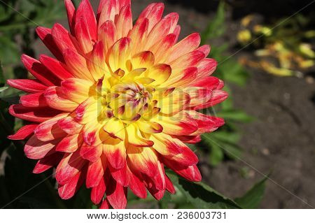 Yellow-red Dahlia Flower In The Botany Garden