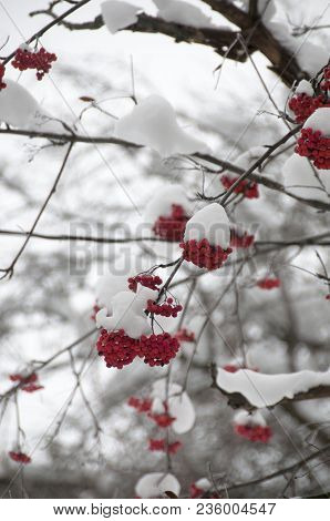 Winter Snow Sorbus Commixta, The Japanese Rowan, Is A Species Of Flowering Plant In The Family Rosac
