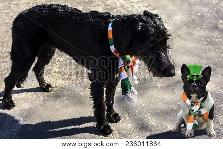 Black Irish Wolfhound In An Irish Flag Scarf Meets A French Bulldog