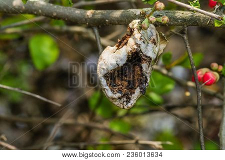 Closeup of camellia japonica seedpod attached to branch after it has burst open with natural blurred background. poster