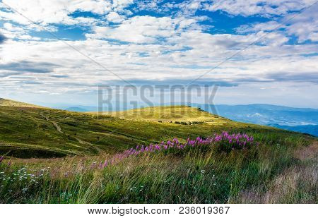 Fire-weed Among The Grass On Hill In Late Summer. Beautiful Mountainous Landscape On A Cloudy Day