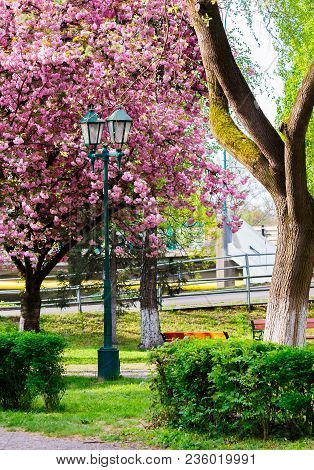 Old Lantern In The Sakura Park. Lovely Urban Scenery In Springtime