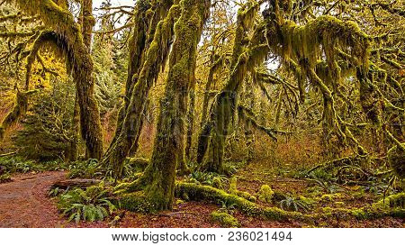 Hall Of Mosses In The Hoh Rainforest At Olympic National Park, Washington, Usa