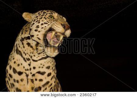 Jaguar Profile
